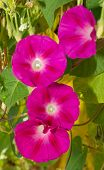 picture of ipomoea  - Deep pink flowers of Morning Glory - JPG