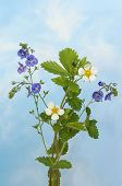 stock photo of wispy  - Wild flowers speedwell and strawberry flowers against a blue sky with white wispy clouds - JPG