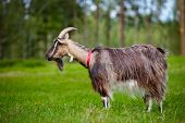 brown goat on the field