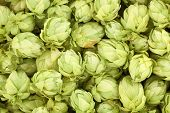 Beautiful fresh hops.