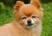 Squinting pomeranian