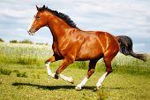 Running Purebred Horse poster