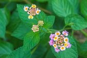 foto of lantana  - Lantana or Wild sage or Cloth of gold or Lantana camara flower in garden - JPG