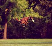 a dog playing jumping in the air in a park catching a frisbee toned with a retro vintage instagram filter effect