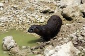 Wild River Otter