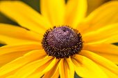 pic of black-eyed susans  - A macro photograph of a black eyed susan - JPG
