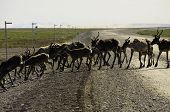 picture of caribou  - A herd of wild caribou crossing the road
