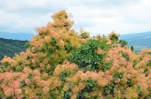 Cotinus Coggygria Tree