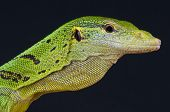 Emerald tree monitor / Varanus prasinus