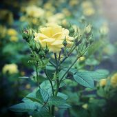 vintage yellow flowers in the garden