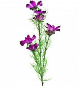 Purple Garden Cosmos Bipinnatus Flower on White Background