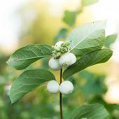 Snowberries, Symphoricarpos
