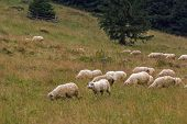 Sheep Grazing On Mountain Meadow