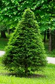 stock photo of trapezoid  - Trapezoidal Green Spruce on Tree and Grass background Outdoors - JPG