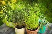 stock photo of oregano  - Cozy home garden with herbs  - JPG
