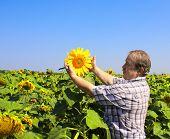 Elderly farmer and field of sunflowers