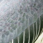 Greater Adjutant Feathers