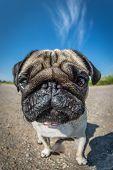 Pug In Closeup