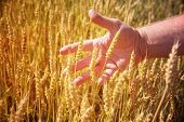 Farmer's hand holding ripe wheat