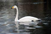 Whooper Swan (cygnus Sygnus) Swimming Across A Lake