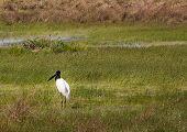 Stork in field