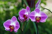 Three Orchids In Bloom