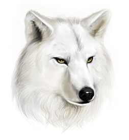 picture of white wolf  - Portrait of realistic white wolf on the white background - JPG