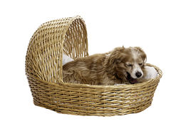 image of cockapoo  - A tired cockapoo is yawning while lying in a bassinet isolated against a white background - JPG