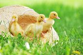 picture of three life  - three cute fluffy ducklings sitting in straw hat - JPG