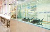 sturgeon in the aquarium for sale to store