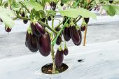 Purple Eggplant Fruit On Field Agriculture