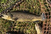 trout caught in the river and placed on the green meadow