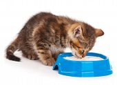 picture of licking  - Cute little kitten lick its lips after sour cream over white background - JPG