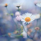 Tiny flower camomile