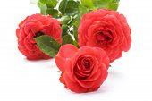 Rose On White Macro