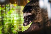 foto of excrement  - Luwak asian palm civet an animal eating coffee beans that are used for civet coffee - JPG