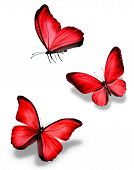 Three Red Butterfly, Isolated On White Background
