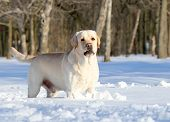 Yellow Labrador In Winter In Snow Close Up