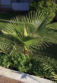 foto of washingtonia  - Washingtonia filifera. Exotic plant grows in warm climates.