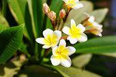Beautiful plumeria flowers blossom in the frangipani tree.