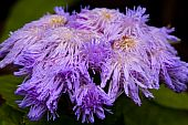 Purple Blue Ageratum Flower