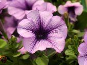 Pale Pink Petunia Closeup