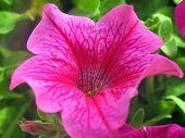 Bright Pink Petunia Closeup