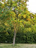 picture of rowan berry  - Productive tree of rowan in summer - JPG