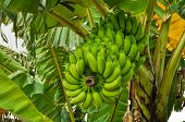image of banana tree  - Green bananas growing on tree in Bangladesh - JPG