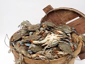 picture of blue crab  - close up photo of a bushel basket of live blue crabs from the Chesapeake Bay of Maryland - JPG