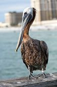Clearwater Beach Florida Pelican