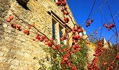 Apple tree, Castle Combe, United Kingdom