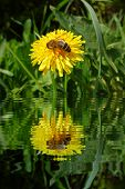 Honeybee On Dandelion With Water Refections