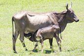 Cow Feeding Calf In Farm